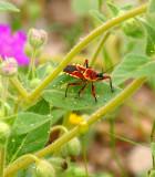 Bee Assassin Bug