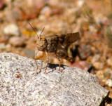 Plallid-winged Grasshopper