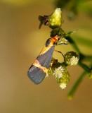 Thin-banded Lichen Moth