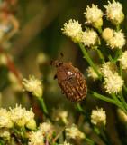 Euphoria Sepulcralis Rufina