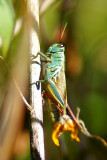 Thomas Two-stripted Grasshopper