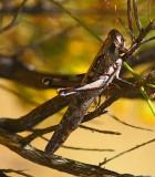 Grey Bird Grasshopper