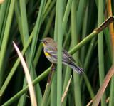 Female Grace's Warbler