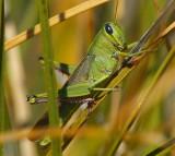 Spotted Bird Grasshopper