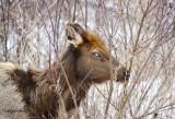 Blind Elk