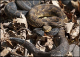 Timber Rattlers and a garter snake tail showing.
