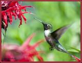 Ruby-Throated Hummingbird feeds on Bergamot