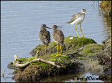 Greater yellowlegs at Potter Marsh