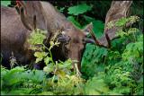 Moose in Cow Parsnip
