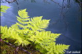 Ferns border a glacial stream