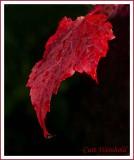 Autumn's Blush