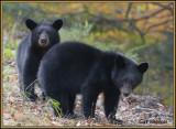 Two Cub Bears