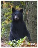 Standing cub