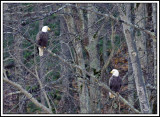 Two eagles from Lyman Run State Park