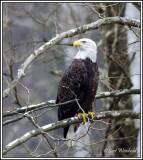 Sycamore eagle