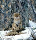 Bobcat. from Denton Hill