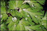 Droplets on Dutchmans Breeches