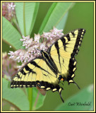 Tiger Swallowtail on milkweed