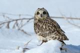 Owl, Short Eared @ Notsuke Hanto