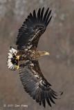 Eagle, White-tailed Sea @ Akan International Crane Center