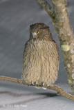 Owl, Blakiston's Fish @ Rausu