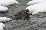 Duck, Harlequin (female) @ Rausu