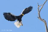 Eagle, Steller's Sea @ Rausu