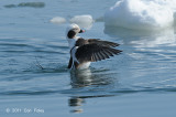 Duck, Long-tailed (male) @ Habomai Harbor