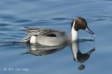 Pintail, Northern (male) @ Hanasakiminato Harbor