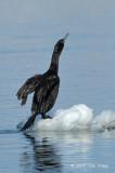 Cormorant, Pelagic @ Habomai Harbor