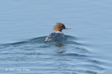 Merganser, Common (female) @ Lake Furen
