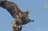 Eagle, White-tailed Sea @ Lake Furen