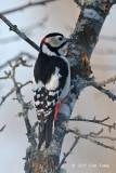 Woodpecker, Great Spotted (male) @ Nemuro