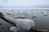 Swan, Whooper @ Lake Kussharo