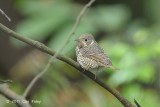 Thrush, White-throated Rock (female) @ Bukit Timah