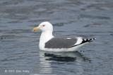 Gull, Slaty-backed @ Rausu