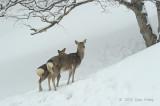 Deer, Sika @ Shiretoko