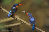 Kingfisher, Blue-eared (pair) @ Lower Peirce