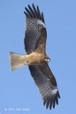 Kite, Black-eared @ Odiato