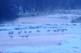 Crane, Red-crowned @ Setsurigawa River