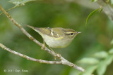 Warbler, Yellow-browed @ Jelai Resort
