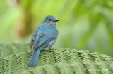Flycatcher, Verditer (female) @ Jelai Resort