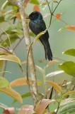 Drongo, Lesser Racket-tailed @ Jelai Resort