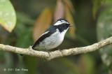 Flycatcher, Little Pied (male) @ Jelai Resort