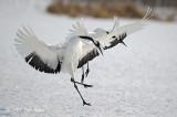 Crane, Red-crowned @ Tsurui