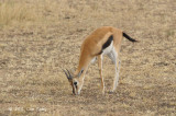 Gazellie, Thomson's (female)