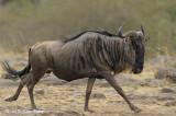 Wildebeest, Blue