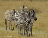 Zebra, Plains