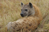 Hyena, Spotted