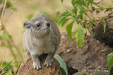 Hyrax, Yellow-spotted